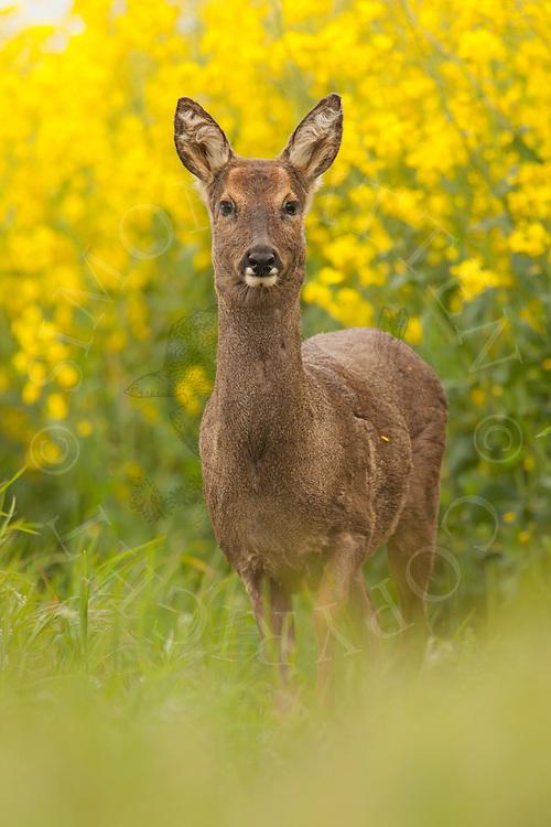 Western Roe Deer (Capreolus capreolus) adult female in field margin alongside oilseed rape, Norfolk, UK.