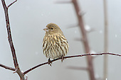 Misc. Finches & Old World Sparrows