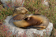 Galapagos Sea Lion (Zalophus californianus wollebaeki or Zalophus wollebaeki) ECUADOR: Galapagos Islands<br /> Plazas Island<br /> 19-Aug-2010<br /> J.C. Abbott &amp; K.K. Abbott