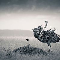 A Masai Ostrich is startled by a Lilac-breasted Roller in the Masai Mara of Kenya