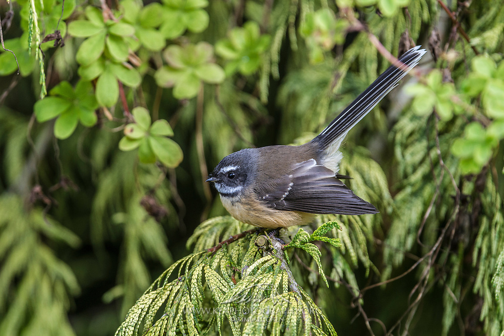 Fantail, Southland, New Zealand