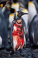 Bloody king penguin, Aptenodytes patagonicus, injured by sea lion, South Georgia Island