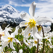 Fields of White Avalanche Lilies bloom in late July along the trail in Spray Park, in Mount Rainier National Park, Washington, USA. Erythronium montanum (in the Liliaceae family) is native to the alpine and subalpine Olympic and Cascade Ranges of the Pacific Northwest and coastal British Columbia, in North America. Avalanche Lilies bloom as snow melts in late spring and early summer in damp subalpine woodlands and alpine meadows.