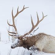 Bull elk in heavy winter snow
