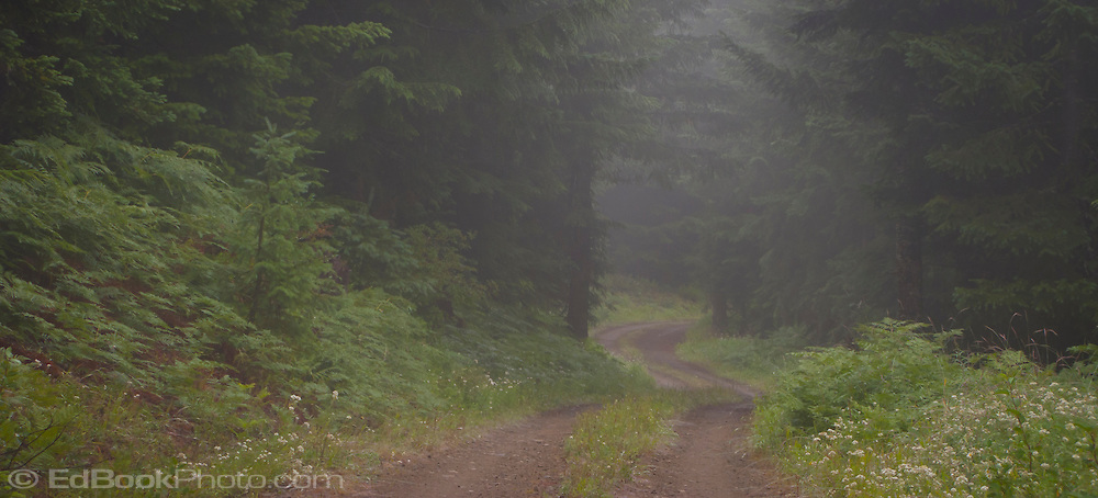 foggy summer morning along the trail to Snow Bowl and The Yurt - Mount Tahoma Trails, in the Tahoma State Forest Cascade Mountain Range, Washington state, USA