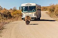 Grizzly bear (Ursus arctos) walks down the road in Sable Pass as a tourist bus looks on in Denali National Park in Interior Alaska. Morning. Autumn.
