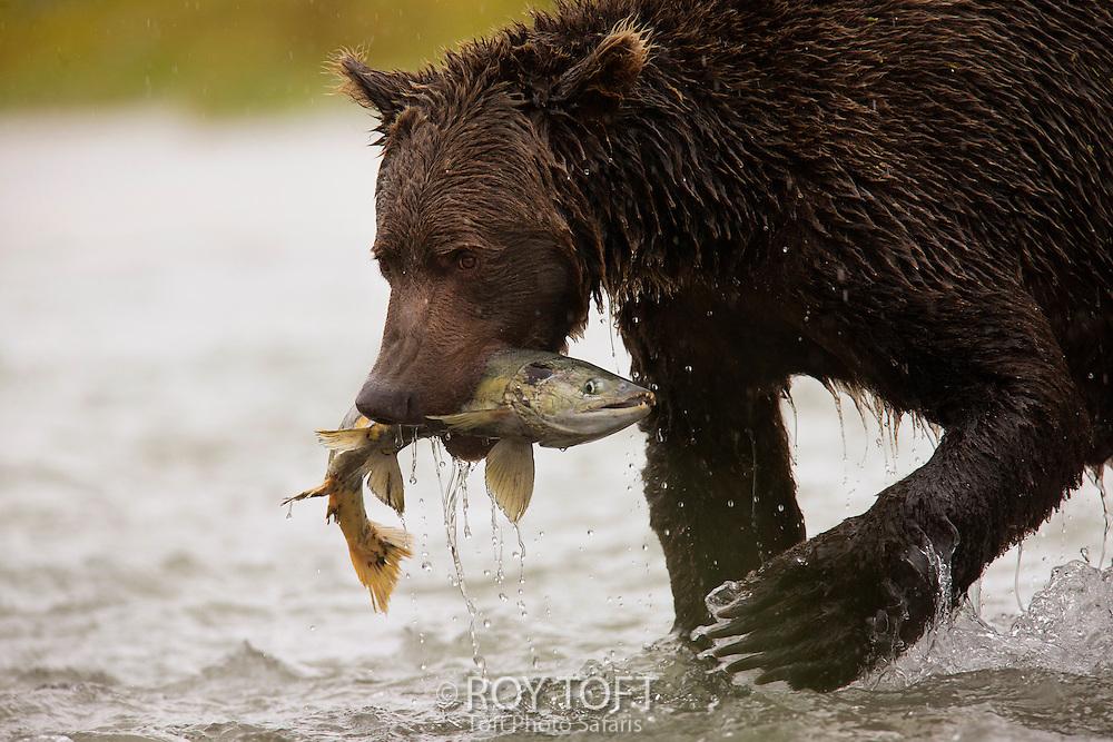 Adult brown bear (Ursus arctos) with salmon, Katmail National Park, Alaska