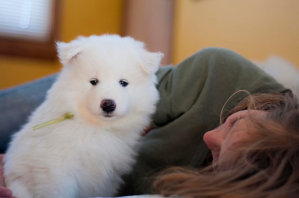 Name: Kuma<br /> Breed: Samoyed<br /> Age: 7 Weeks