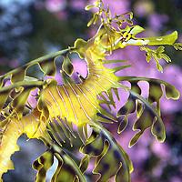 leafy sea dragon, Phycodurus eques, Kangaroo Island, South Australia&amp;#xA;&copy; KIKE CALVO - V&amp;W<br />