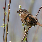 A song sparrow (Melospiza melodia) feasts on an insect along a tidal marsh in Grays Harbor, Washington. Song sparrows are found throughout North America and are about 5 to 7 inches tall (12 to 17 cm) with a wingspan of 7 to 9 inches (18 to 24 cm). The song sparrow uses songs to defend its territory and attract mates. Laboratory research shows that females prefer males that sing more complicated songs.