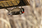 A male Downy Woodpecker visits the suet feeder.