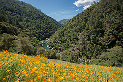 """""""California Poppies 8"""" - These wild California Poppy flowers were photographed near Windy Pt. along the North Fork American River."""