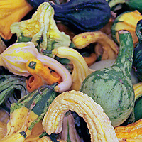 USA, California, San Diego. Various gourds at pumpkin patch.
