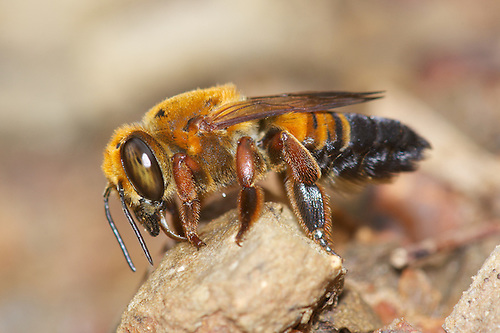 Megachilidae bee commonly known as a mason bee and leafcutter bee ...