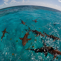 Lemon Sharks at the Surface