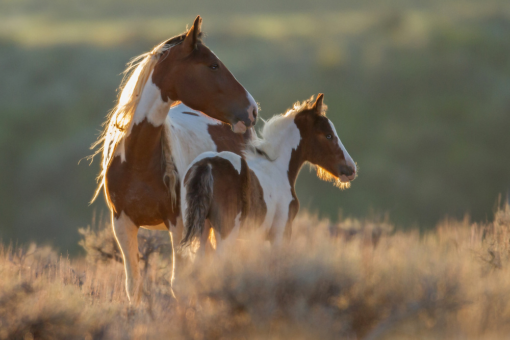 The beautiful tobiano mare, Taboo, and her lookalike foal, pause in the sage as the sun rises near the Dry Creek Pasture at McCullough Peaks, Herd Management Area.