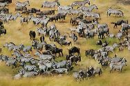 Herds of wildebeests (Connochaetes taurinus) and zebras migrating in Masai Mara National Reserve, Kenya.