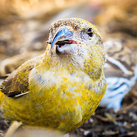 A Yellow version of Red Crossbill