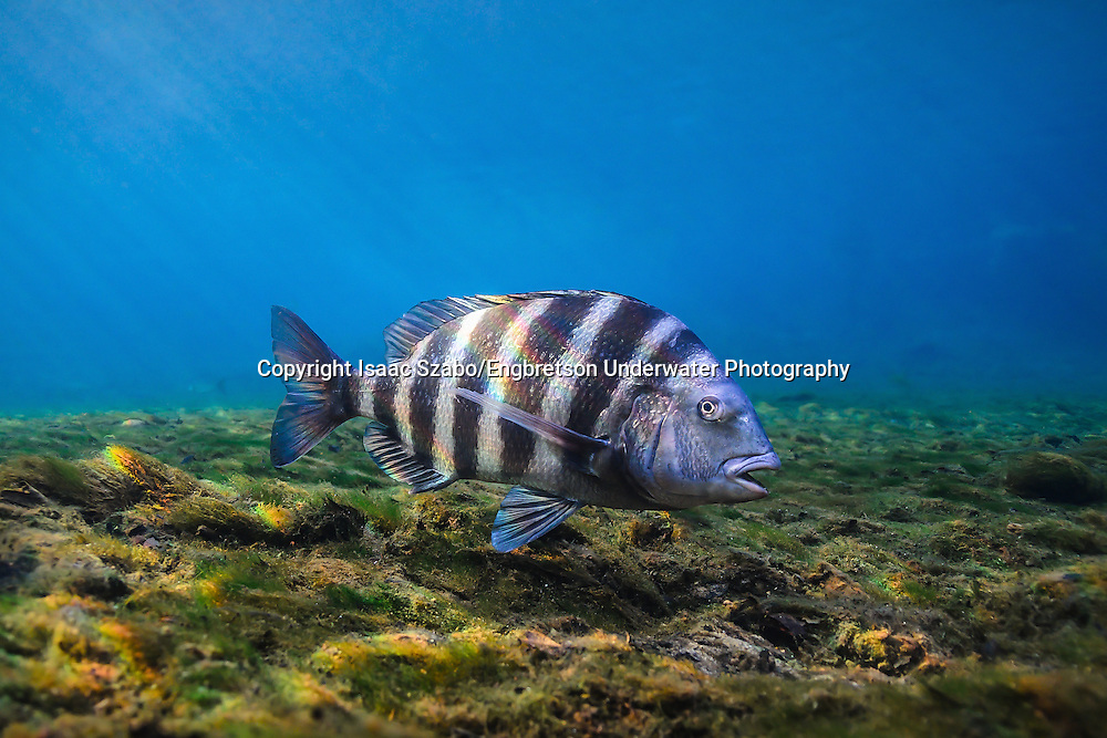 Sheepshead Engbretson Underwater Photography