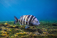 Sheepshead<br />