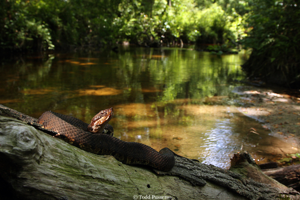 Eastern cottonmouth (Agkistrodon piscivorus) basking on log over small freshwater creek.  Richmond County, North Carolina