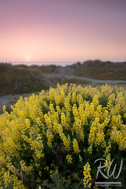 Bush Lupine at Sunset, Samoa Dunes Recreation Area, California
