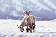 Wild bighorn sheep stand in the road near the town of Jackson Hole, Wyoming.