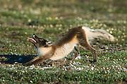 Alaska. Arctic National Wildlife Refuge. Arctic fox (Alopex lagopus) yawning and stretching.