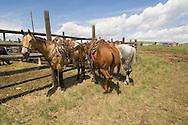 Rodeo horses in Wilsall Montana, Quarter horses