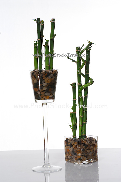 lucky bamboo (Dracaena sanderiana) on white background
