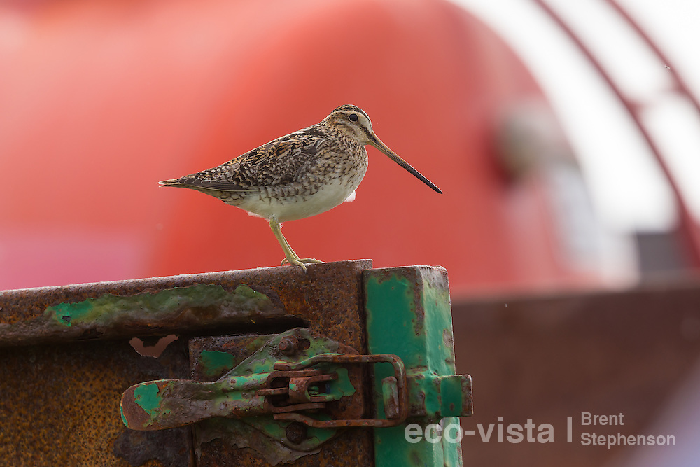 Adult male common snipe (Gallinago gallinago) perched on old rusting agricultural machinery within his territory. Flatey, West Fjords, Iceland. July.