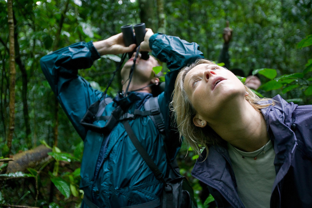 Africa, Uganda, Kibale Forest Reserve, Tourists looking up at Chimpanzee (Pan troglodytes) sitting on tree branch above rainforest