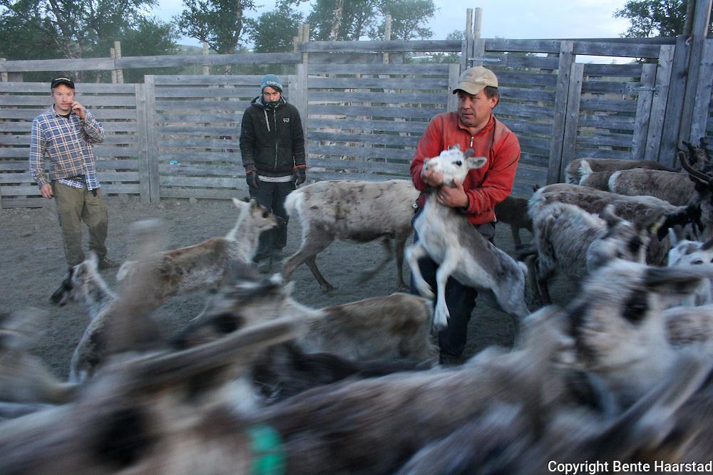 Distriktets leder, Aslak Brandsfjell, har fått tak i en kalv. Saanti sijte, Skarpdalen, sørsamisk reindrift.