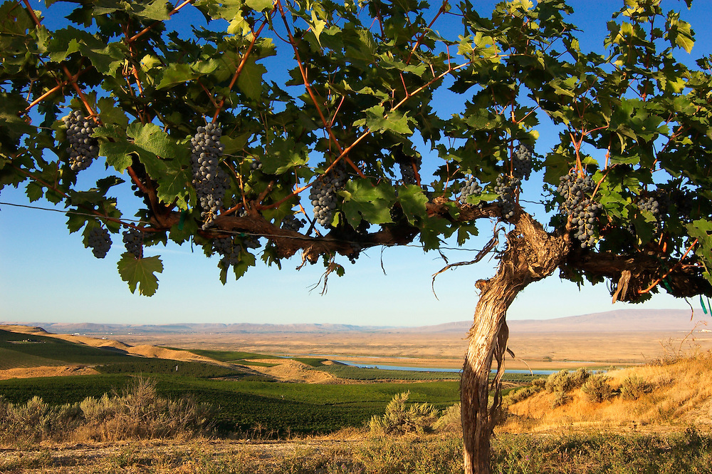 Cabernet Sauvignon grapes and vine, with vineyards, Columbia River and Rattlesnake Hills in distance; Sagemoor Vineyards, Columbia Valley, Washington.