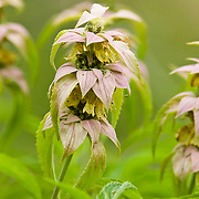 Spotted beebalm, Monarda punctata, member of the mint family, Wildflowers, in Washington County, Texas, spring.