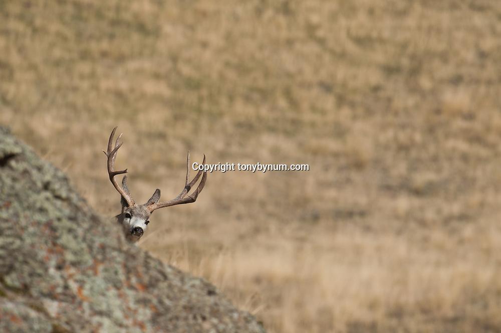 big mule deer buck hiding in the rocks