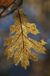 A backlight leaf hangs from a tree in winter in Yosemite National Park, California.