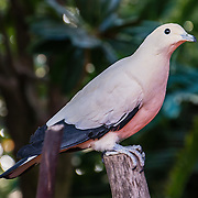 """The Pied Imperial Pigeon (or Arboreal Dove; or Nutmeg, Torresian Imperial, or Torres Strait Pigeon; Ducula bicolor) is found in forest, woodland, mangrove, plantations and scrub in Southeast Asia, ranging from Myanmar and Thailand south to Java and east to the Philippines and the Bird's Head Peninsula in New Guinea. Photographed in Bloedel Conservatory, Queen Elizabeth Park, 4600 Cambie St, Vancouver, British Columbia, Canada. Bloedel Conservatory is a domed lush paradise where you can experience the colors and scents of the tropics year-round, within Queen Elizabeth Park, atop the City of Vancouver's highest point, Little Mountain (501 feet). In Bloedel Conservatory, more than 200 free-flying exotic birds, 500 exotic plants and flowers thrive within a temperature-controlled environment. A donation from Prentice Bloedel built the domed structure, which was dedicated in 1969 """"to a better appreciation and understanding of the world of plants,"""" and is jointly operated by Vancouver Park Board and VanDusen Botanical Garden Association. A former rock quarry has been converted into beautiful Queen Elizabeth Park with flower gardens, public art, grassy knolls."""