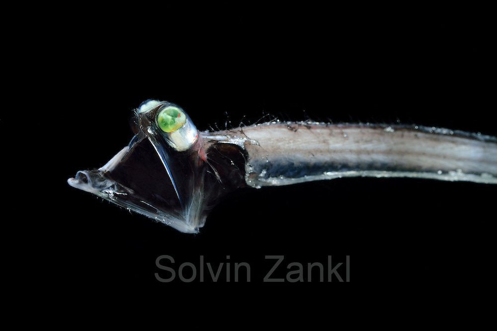 [captive] Deep Sea Threadtail (Stylephorus chordatus). This deep sea fish is a mesopelagic species with eyes modified to detect the slightest traces of light. Atlantic Ocean close to Cape Verde |