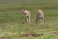 Cheetahs (Acinonyx jubatus)  watching prey in the Ngorongoro Crater, Tanzania, Africa