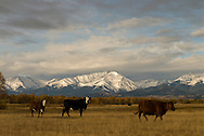 Hereford and White Face cattle, Crazy Mountains, Front Range, Montana