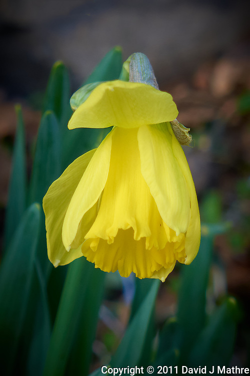 Late winter Daffodil bloom. Spring must be coming. Image taken with a Leica D-Lux 5 camera (ISO 100, 19 mm, f/3.3, 1/100 sec).