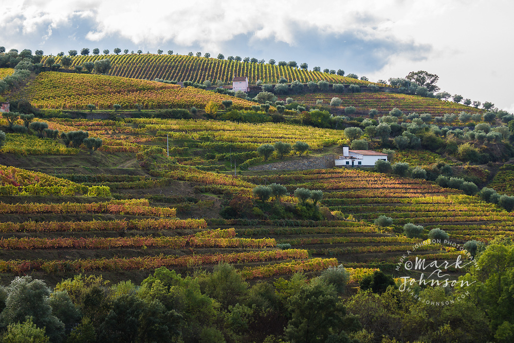 Autumn colors on the steeply terraced hillside vineyards of the Douro Valley, Portugal