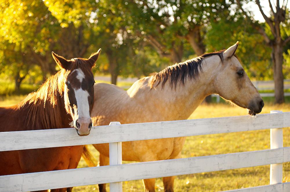 Horses at Sunset, Black Diamond, Alberta.
