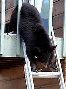 Alaska. Black Bear (Ursus americanus) climbing down extension ladder, Anchorage.