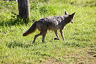 Coyote (Canis latrans) running away - Point Reyes National Seashore, California