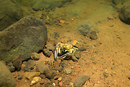 Rusty Crayfish<br />