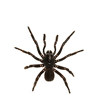 Southern Trapdoor Spider (Ummidia audouini)