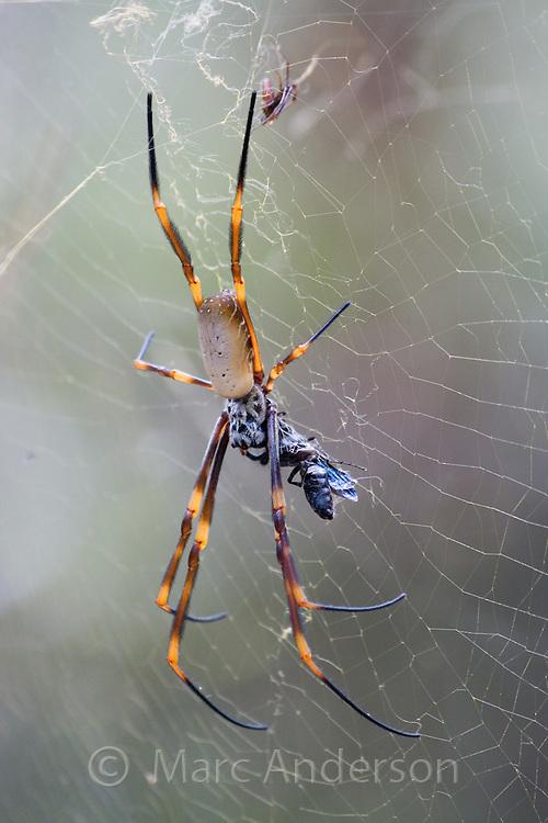 Golden Orb Weaver (Nephila) spider on a web, Sydney, Australia