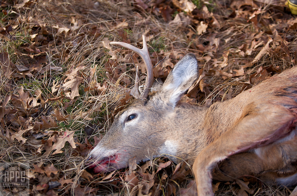 A six point buck shot during the Wisconsin deer hunting season.
